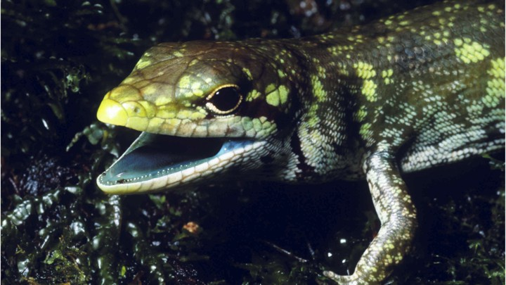 A green-blooded skink from New Guinea