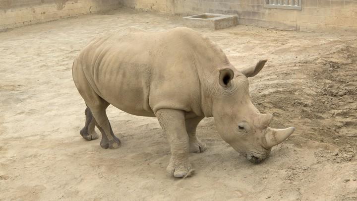Victoria the rhino