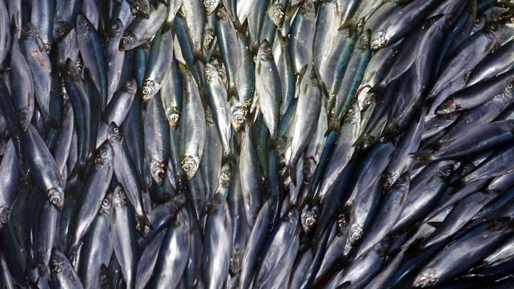 A pile of herring