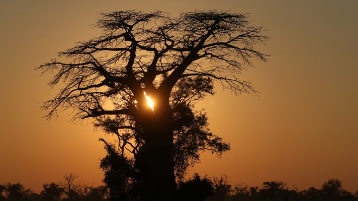A baobab tree in the Okavango delta