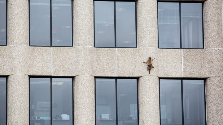 A raccoon climbs the side of a building