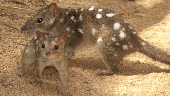 Two brown ferret-like animals with white spots