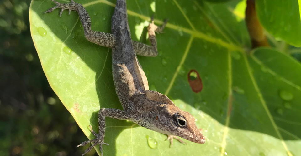 After Hurricanes Irma and Maria, Caribbean Lizards Have a Better