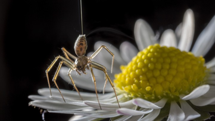 A ballooning spider