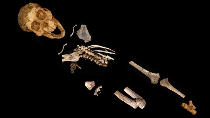 A partially complete Australopithecus skeleton