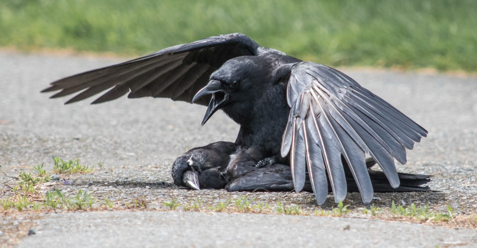 Crows Sometimes Have Sex With Their Dead - The Atlantic