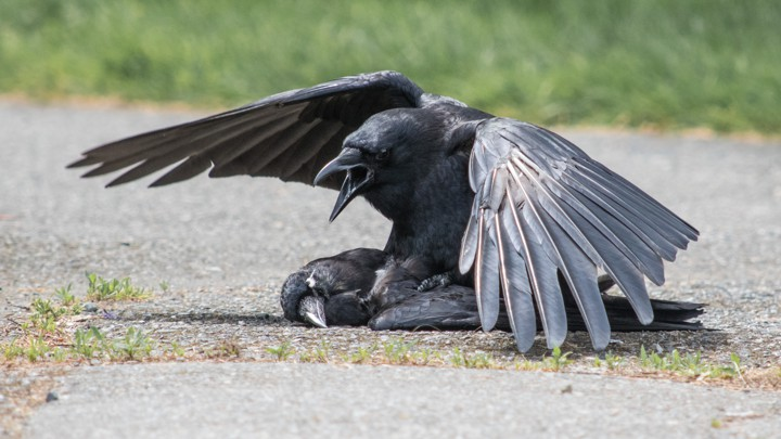 Image result for crow romance
