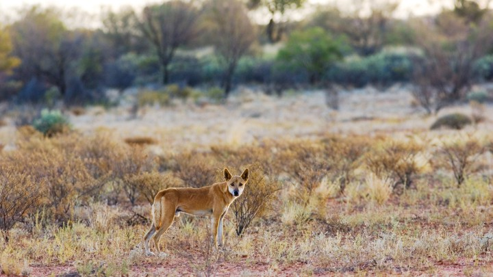 A dingo in a desert field in Australia