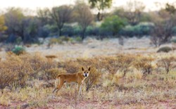 A dingo in a desert field in Australia