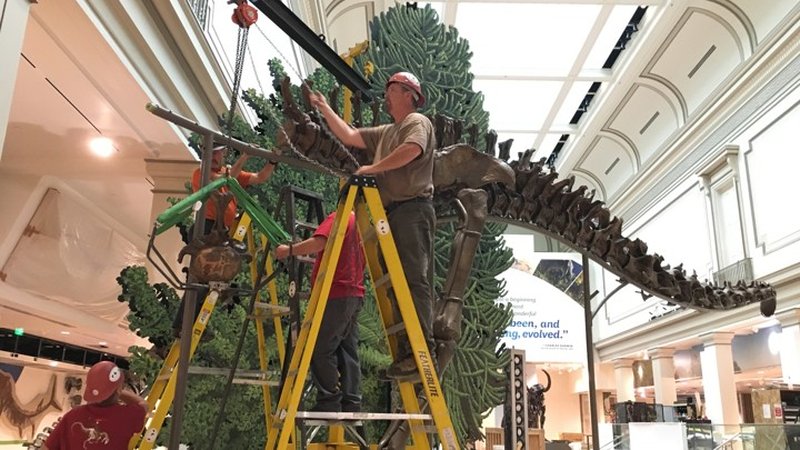 A Diplodocus is being assembled.