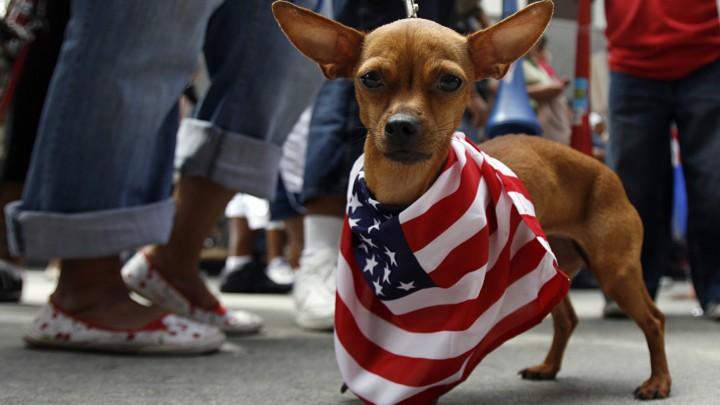 A Chihuahua wears a U.S. flag