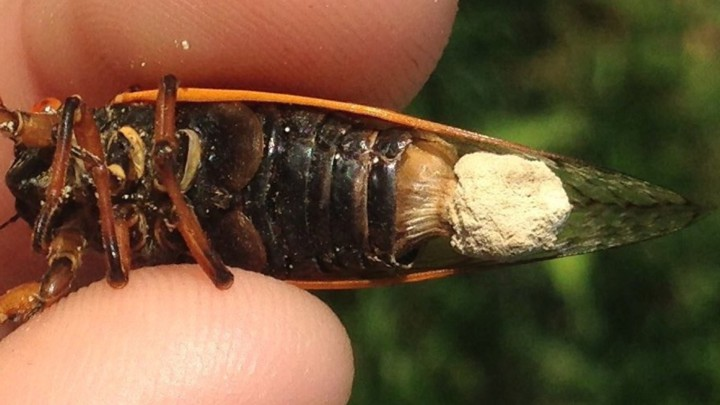 A cicada infected by Massospora
