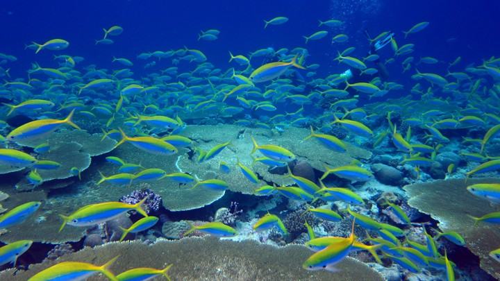 Yellow and blue fusiliers shoal over a reef in the Chagos Archipelago.