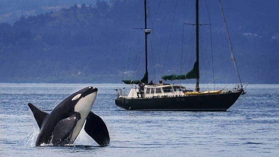 Mike, a Southern Resident killer whale