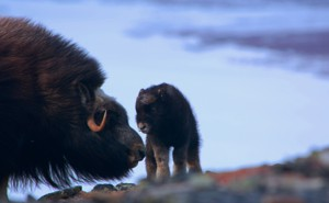A newborn musk ox and its mother in the Arctic