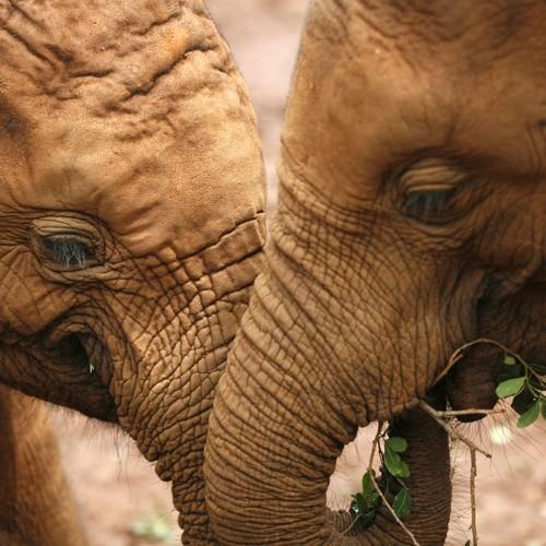 Elephants Have a Secret Weapon Against Cancer - The Atlantic