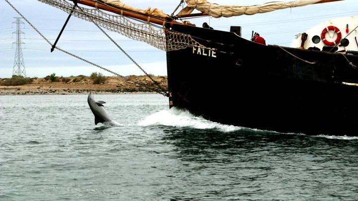 Billie the dolphin tail-walks in front of a ship.