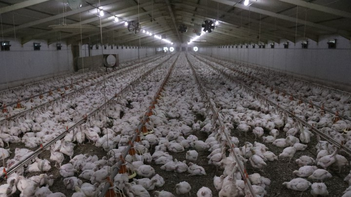 What Does Monopsony Mean? Chicken Farms Offer an Answer - The Atlantic