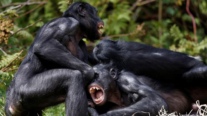 Real Chimpanzee Fuck Woman
