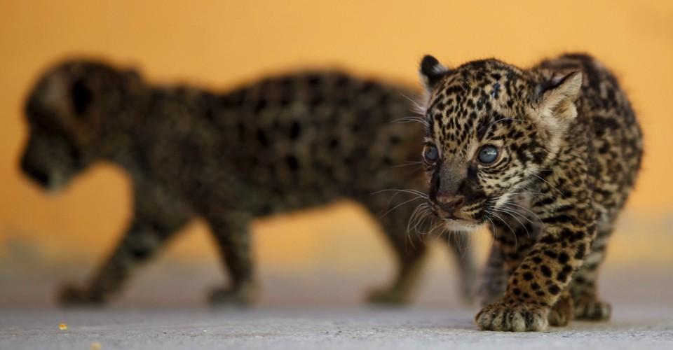 The Maya Kept Jaguar Zoos For Centuries