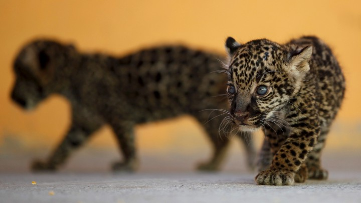 Four-week-old jaguars