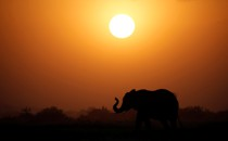 An elephant at sunset.