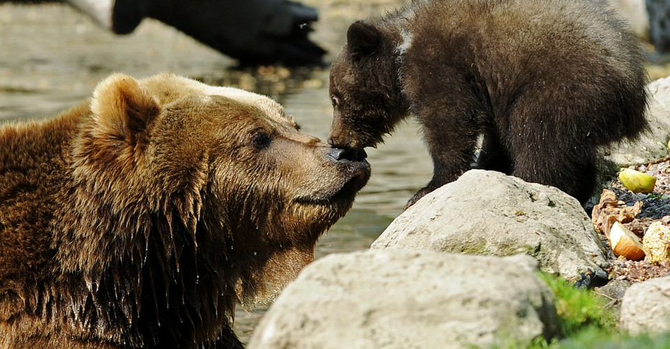 The Problem Behind a Viral Video of a Persistent Baby Bear