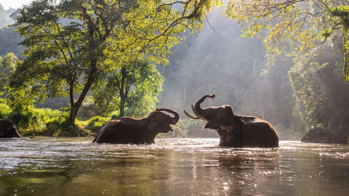 Two Asian elephants play in a river in Thailand