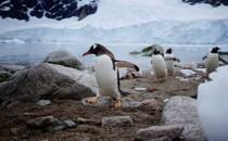 Penguins waddling ashore