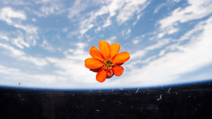 An orange zinnia blossoms in the warmth of the International Space Station
