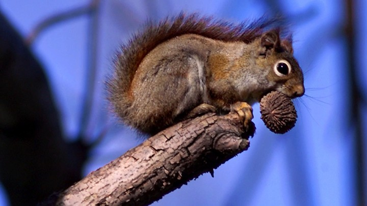 A red squirrel perched on a branch