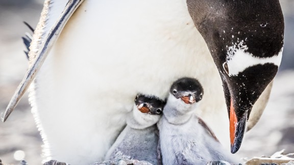 Two baby penguins nestling with a parent penguin