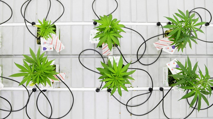 Small marijuana plants grow in a lab at Niagara College in Ontario, Canada.