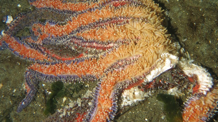 A dying sunflower starfish