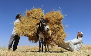 Farmers load a donkey with wheat