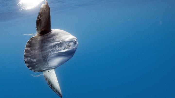 An ocean sunfish