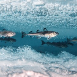 Cod under Arctic ice