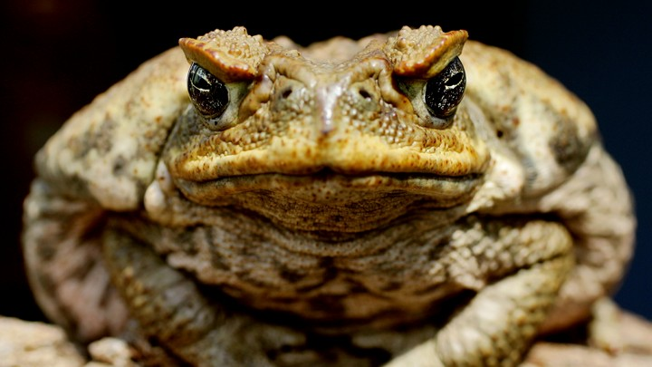 A cane toad sitting on a log