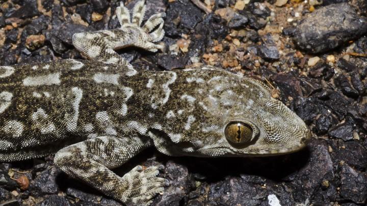 A Kanker rock gecko