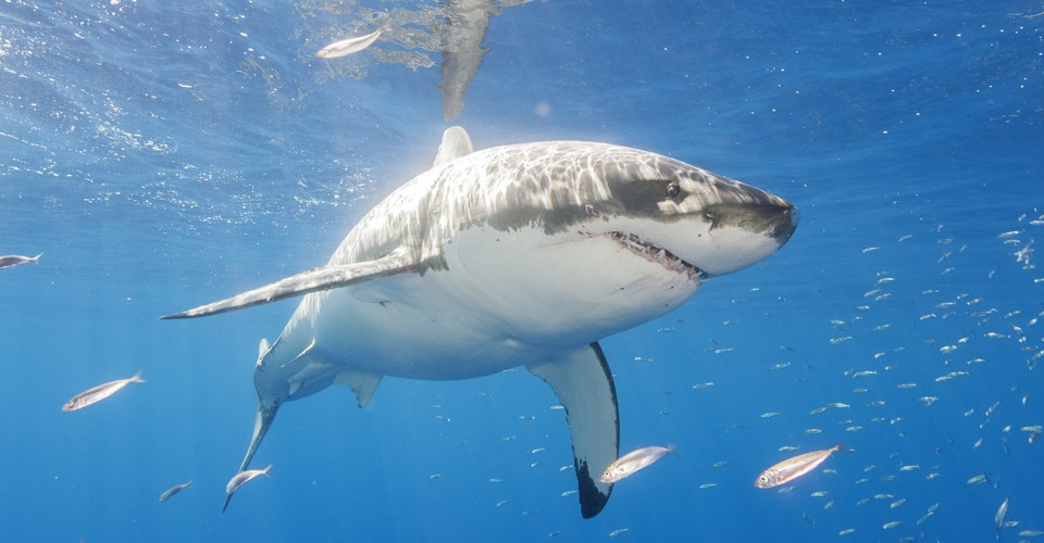 Its Not Cool To Give Your Google Killer >> Great White Sharks Flee From Killer Whales The Atlantic