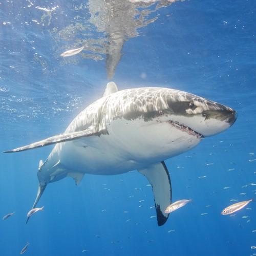 f2225460 Great White Sharks Flee From Killer Whales - The Atlantic