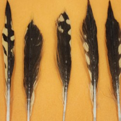 Feathers from the stomach of a tiger shark