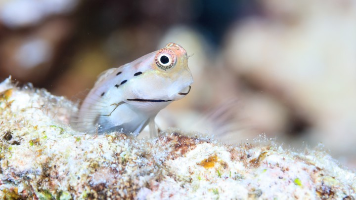 A Great Barrier Reef blenny