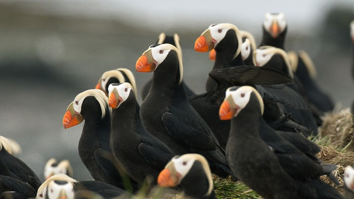 Hundreds of Puffins Washed Up Dead on an Alaskan Beach - The