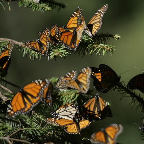 Monarch-Butterfly Migrations Have an Unnatural History - The