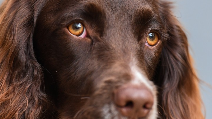 Why Do Dogs Look So Sad? - The Atlantic