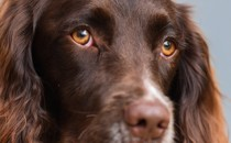 A close-up of a spaniel's face.