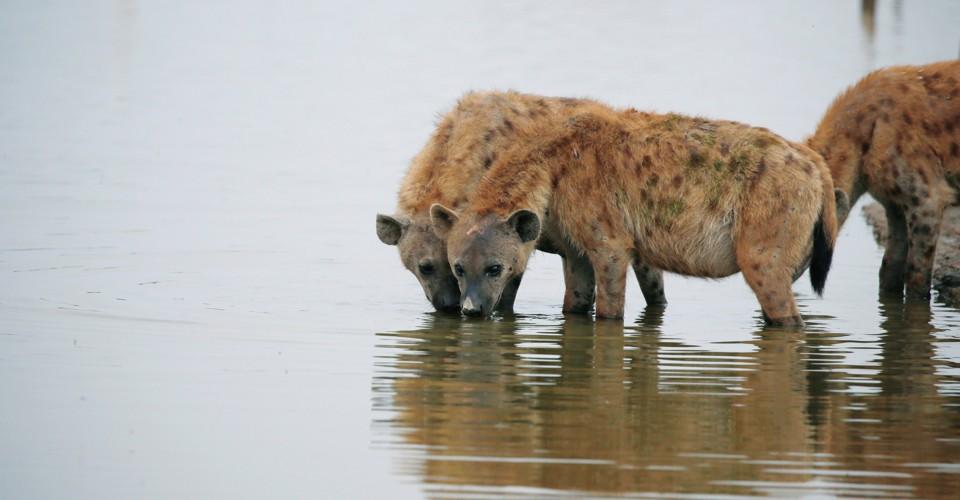 Arctic Hyenas Once Roamed North America - The Atlantic