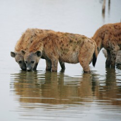 Spotted hyenas drink from a lake.