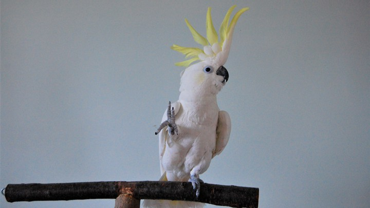 Snowball the dancing parrot